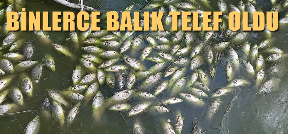 SULTANSUYUN DA BİNLERCE BALIK TELEF OLDU.